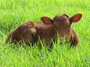 baby-calf-april-2015